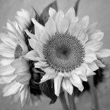 Sunny Sunflower I