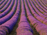 Orderly Rows of Lavender  Provence Region  France