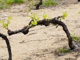 Vineyard of Pierre Gaillard in Malleval  Rhone Valley  France