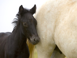Detail of White Camargue Mother Horse and Black Colt  Provence Region  France