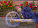 Old Wooden Cart with Fresh-Cut Lavender  Sault  Provence  France