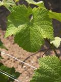 Pinot Noir Leaf  Champagne Francois Seconde  Sillery Grand Cru  Montagne De Reims  Marne  France