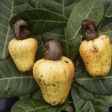 Cashew Nuts, Thailand Papier Photo par Russell Gordon