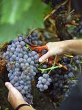 Vineyard Worker Harvesting Bunch of Grenache Noir Grapes  Collioure  Languedoc-Roussillon  France