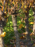 Golden Vineyard in Late Afternoon  Domaine Des Verdots  Conne De Labarde  Dordogne  France