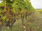 Semillon Grapes with Noble Rot on Vines  Chateau d'Yquem  Sauternes  Bordeaux  Gironde  France