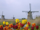 Windmills and Tulips Along the Canal in Kinderdijk  Netherlands