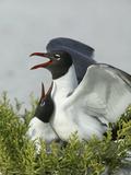 Laughing Gulls Mating  Egmont Key State Park  Florida  USA
