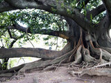 Tree with Roots and Graffiti in Park on Plaza Alverar Square  Buenos Aires  Argentina
