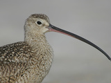 Portrait of Long-Billed Curlew at Fort De Soto Park  De Soto  Florida  USA