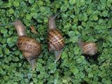 Snails Crawling Through Duckweed