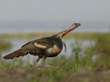 Wild Turkey Charging at a Threat  Indian Lake Estates  Florida  USA