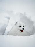 Arctic Fox in Winter Coat  Alaska  USA
