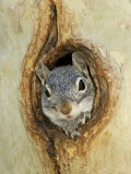 Grey Squirrel in Sycamore Tree Hole, Madera Canyon, Arizona, USA Papier Photo par Rolf Nussbaumer