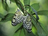 Japanese Kite Butterflies Mating  Florida  USA