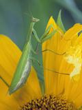 Female Praying Mantis with Egg Sac on Sunflower
