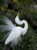 Great Egret Exhibiting Sky Pointing on Nest  St Augustine  Florida  USA