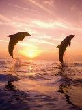 Bottlenose Dolphins, Caribbean Sea Near Roatan, Honduras Papier Photo par Stuart Westmoreland