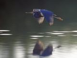 Great Blue Heron Flying Across Water