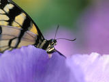 Close-up of Swallowtail Butterfly on Petunia in Garden