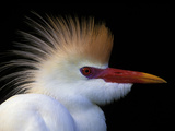 Portrait of Cattle Egret in Breeding Plumage  St Augustine Alligator Farm  St Augustine  Florida
