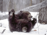 Juvenile Grizzly Plays with Tree Branch in Winter  Alaska  USA