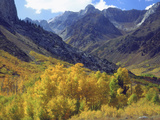 Aspen Trees in Autumn Color in the Mcgee Creek Area  Sierra Nevada Mountains  California  USA