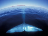 Blue Whale Tail  Baja  California  USA