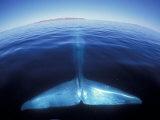 Blue Whale Tail, Baja, California, USA Papier Photo par Amos Nachoum