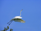 Great Egret Takes Flight from Tree  St Augustine  Florida  USA