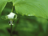 Close-up of Nodding Trillium Flower Beneath Leaf in Springtime  Michigan  USA