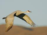 Close-up of Sandhill Crane in Flight Over Mountain  Bosque Del Apache National Wildlife Reserve