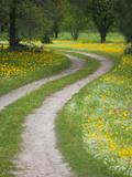 Tracks in Field of Coreopsis Wildflowers Near Brenham  Texas  USA