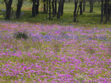 Phlox and Oak Trees in Springtime  Nixon  Texas  USA
