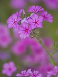 Phlox in Bloom Near Devine  Texas  USA