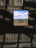 Looking Through Old Barn Window at Cowboy Roping Cattle  Antelope  Oregon  USA