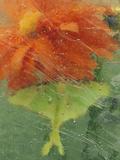 Luna Moth on Orange Dahlia Behind Glass  Pennsylvania  USA