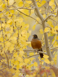 Male American Robin in Aspen Tree  Grand Teton National Park  Wyoming  USA