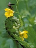 Lightning Bug Taking Flight Atop Buttercup with Ferns  Pennsylvania  USA