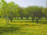 Oak Trees and Wildflowers Bloom Near Cuero  Texas  USA