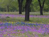 Field of Texas Blue Bonnets  Phlox and Oak Trees  Devine  Texas  USA
