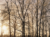 Bare Trees with Ice on Branches at Sunset  Leavenworth  Washington  USA