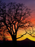 Oak Tree Framing Mt Hood at Sunset  Columbia River Gorge National Scenic Area  Oregon  USA