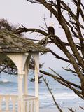 Eagle Perched at Entrance to Beach Trail  Kalaloch Lodge  Olympic National Park  Washington  USA
