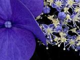 Close-up of Hydrangea  Seattle  Washington  USA