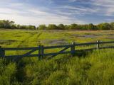 Texas Blue Bonnets  Vetch in Meadow Near Brenham  Texas  USA