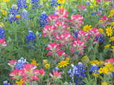 Blue Bonnets  Arnica  and Indian Paintbrush  Near Cuero  Texas  USA