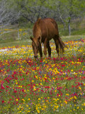 Quarter Horse in Wildflower Field Near Cuero  Texas  USA