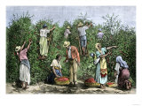 Native Workers Harvesting Coffee in Costa Rica  c1800