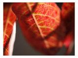Crimson Leaf